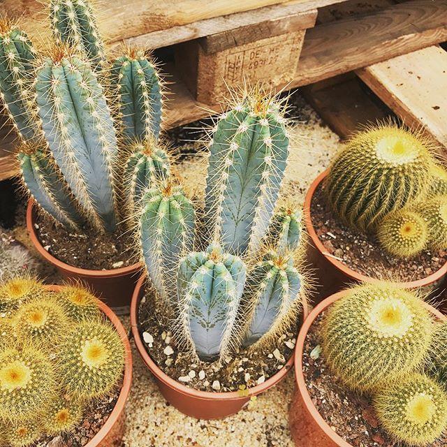 CACTUS ???? Enjoy the sun! ☀️ #cactus #interior